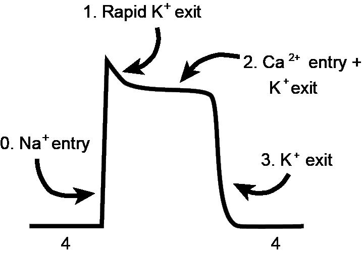 Single Myocycte depolarisation